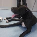 Tierarztpraxis-Fuchs-Mannheim-Gartenstadt-Kleintier-Hund-Dogge (1)
